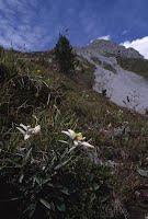 EY-Grade 2 Genre Edelweiss Flower