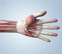 http://idahoptv.org/sciencetrek/topics/muscles/